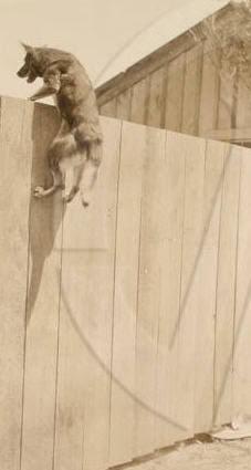 اصل كلاب الجيرمن شيبرد وجذورها Original_and_fence_jumping