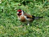 Slike divljih ptica Th_Nalivadi