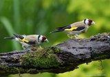 Slike divljih ptica Th_godpair2