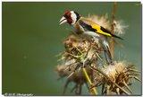 Slike divljih ptica Th_iak2