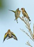 Slike divljih ptica Th_obitelj