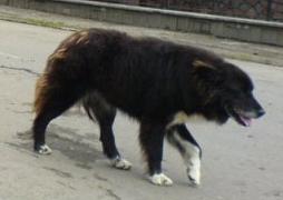 ciobanesc corb