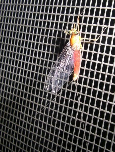 Few Bug Pics Amber-may