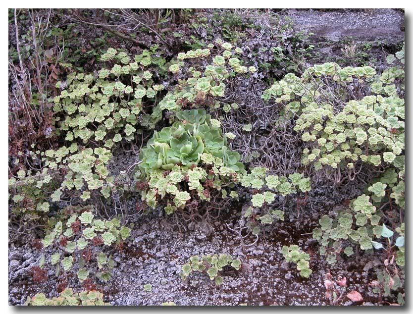 Aeonium smithii Palma-015