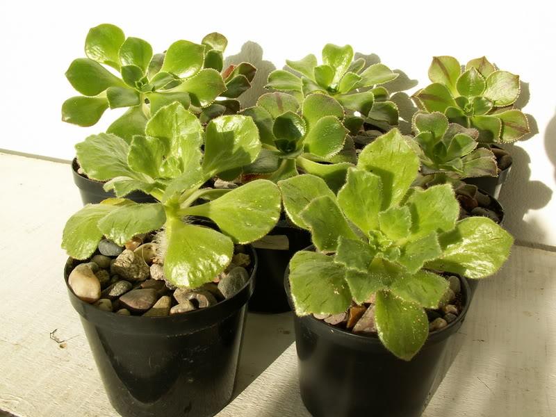 Aeonium smithii PICT3017