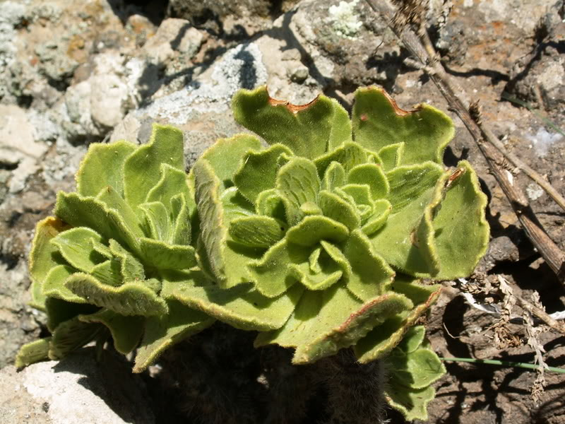 Aeonium smithii PICT3189