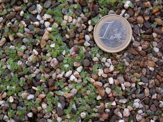 Graptopetalum bellum ( Tacitus bellus) PICT1497
