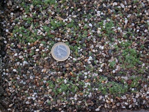 Graptopetalum bellum ( Tacitus bellus) PICT1498