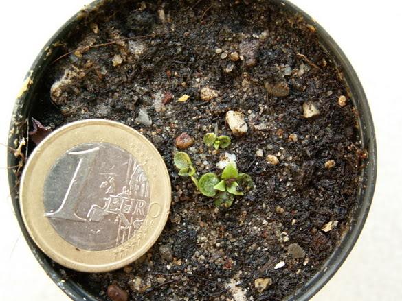 Graptopetalum bellum ( Tacitus bellus) PICT1499