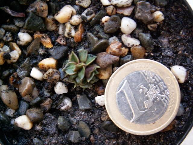 Graptopetalum bellum ( Tacitus bellus) PICT1500