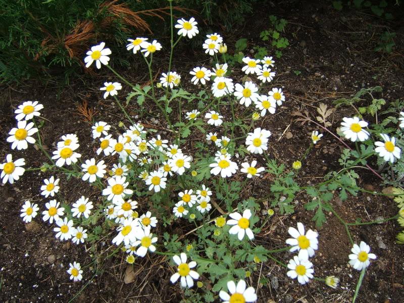 tanacetum jackpot de fleur de peau TanacetumJackPot01