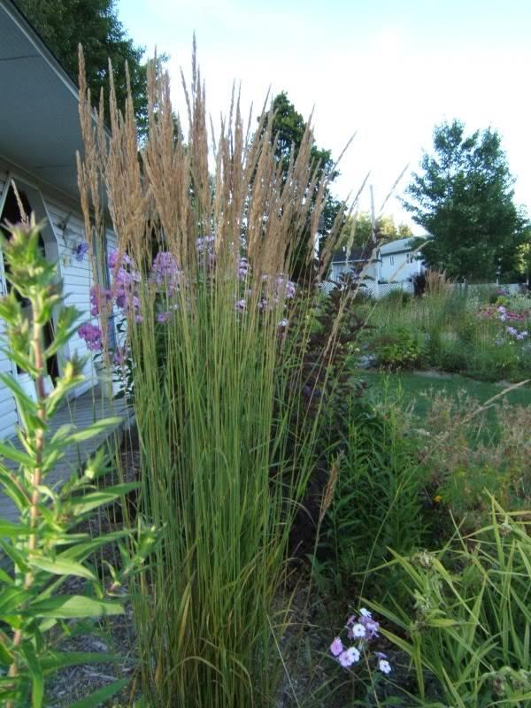 """Calamagrostis x acutiflora """"Karl Foerster"""" 270809calkarl4"""
