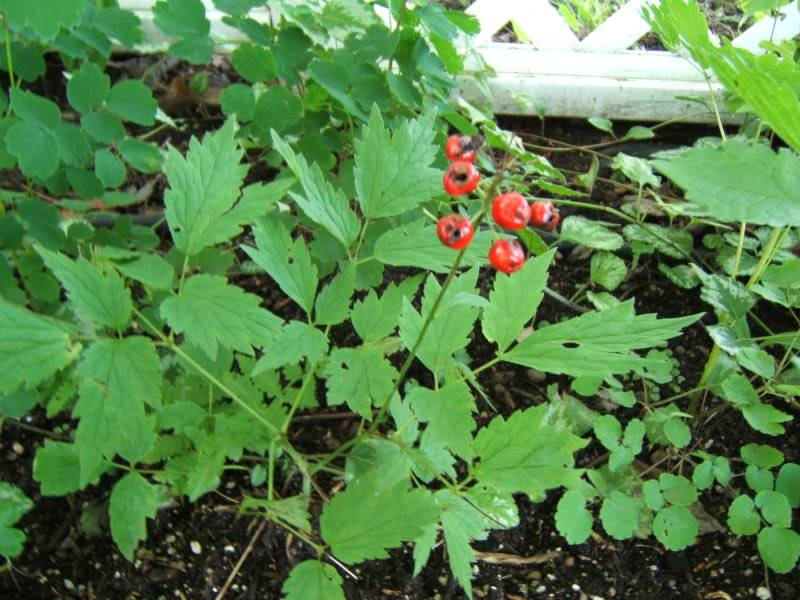 Actaea rubra (Actée rouge) 2907011