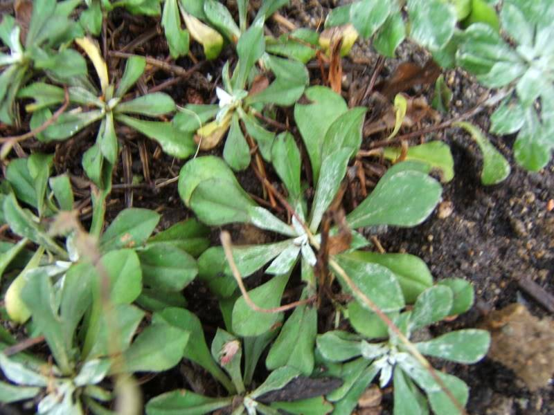 Antennaria (Antennaire, Pied de chat) 061007007