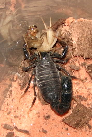 Scorpion pictures - Page 2 IMG_0129sqshy4r6