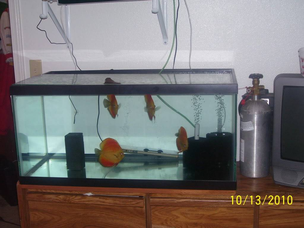 trying to breed discus (PIC HEAVY) - Page 9 100_4637
