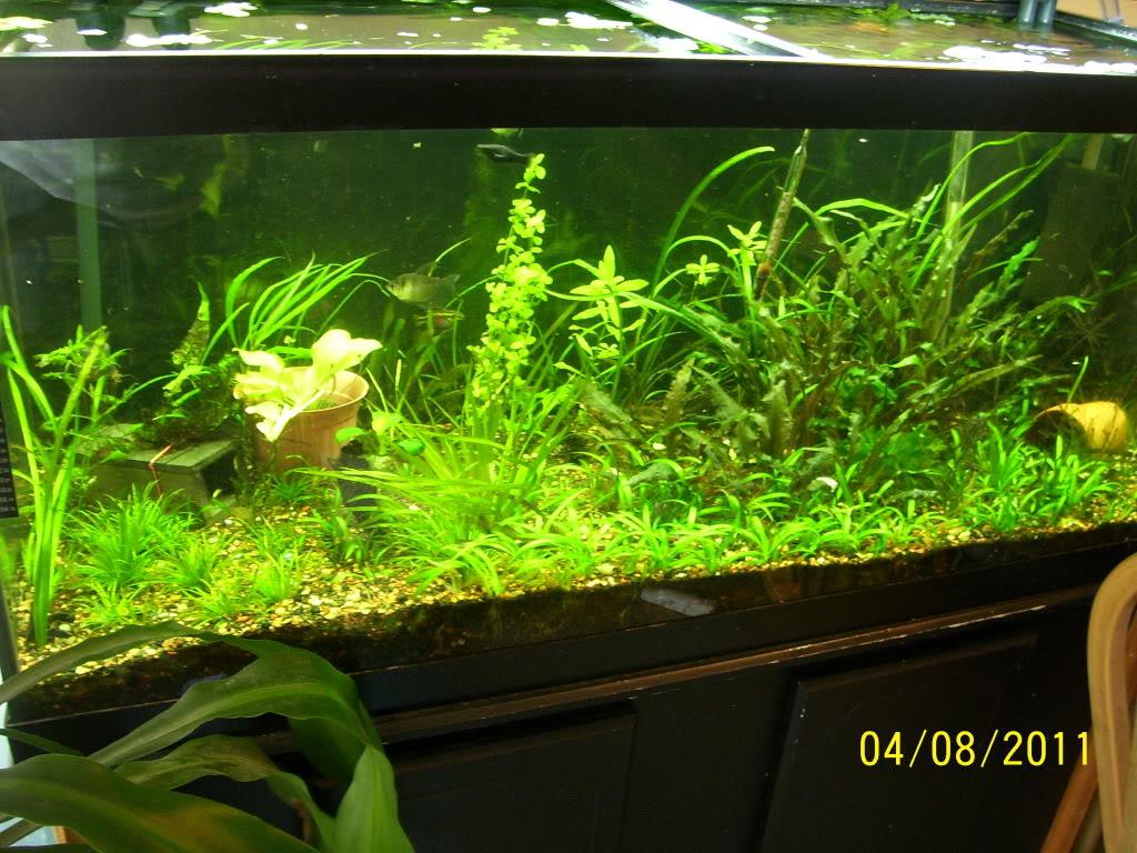 75 gal planted tank 100_4925