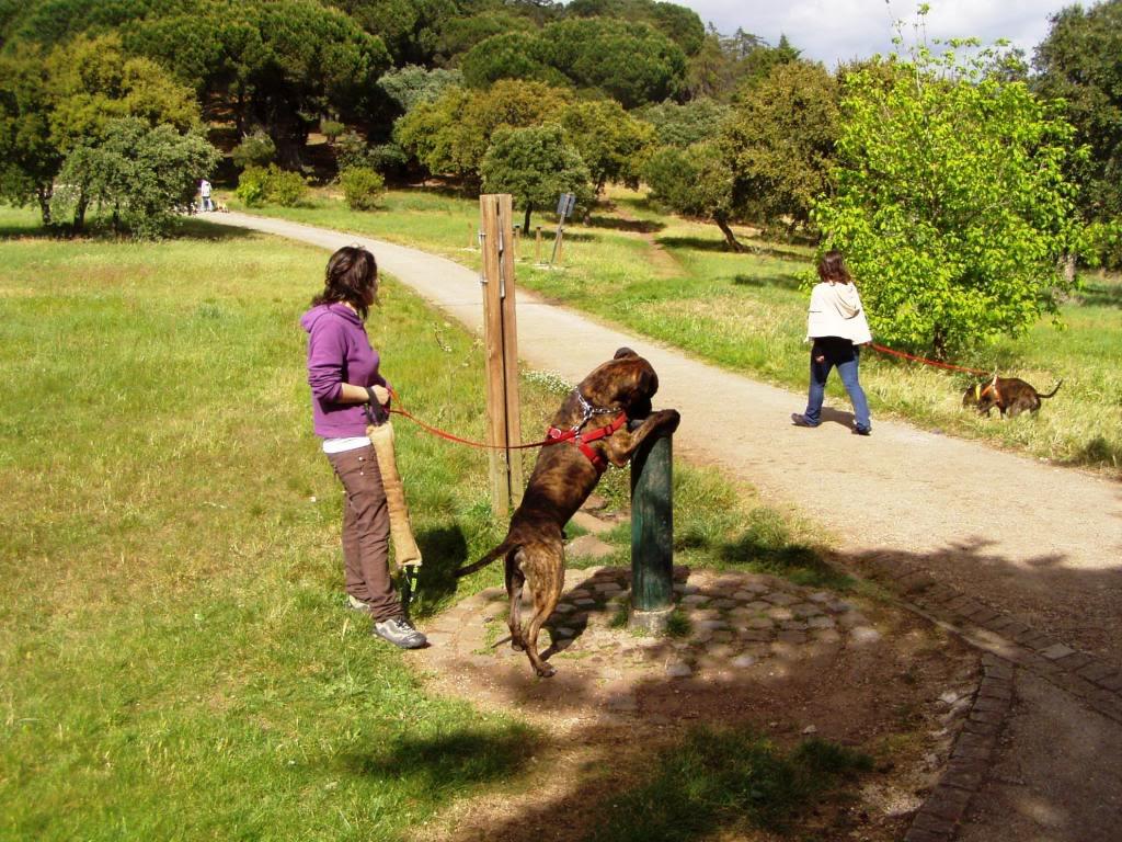 Ganesh - pit bull x boxer  4 anos  - Uz Imagem009