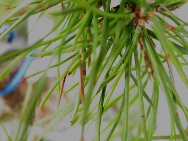 ANTI-TRANSPIRANTS EFFECT on Pinus Sylvestris IMG_3627