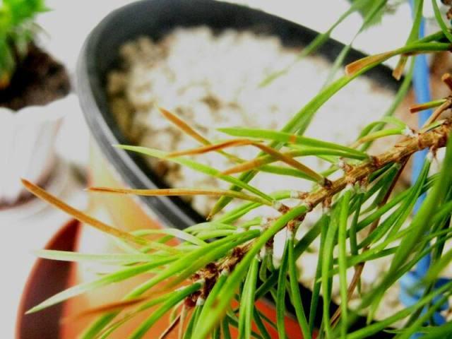 ANTI-TRANSPIRANTS EFFECT on Pinus Sylvestris IMG_3628