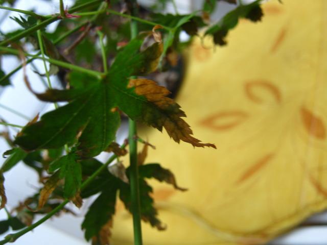 Japanese Acer Palmatum-Leaves scorched/burnt IMG_7179