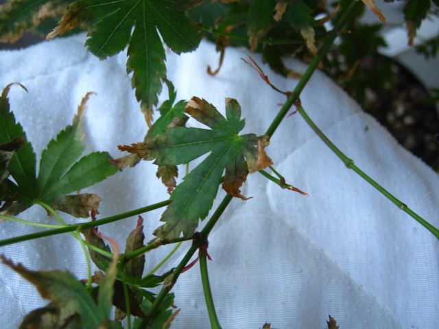 Japanese Acer Palmatum-Leaves scorched/burnt IMG_7181