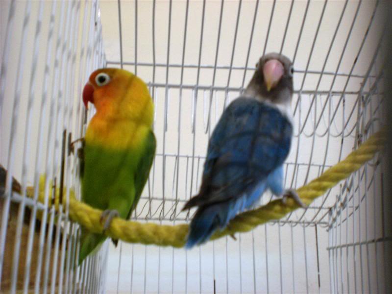 [oiseaux] Mes ex-inséparables CIMG0201