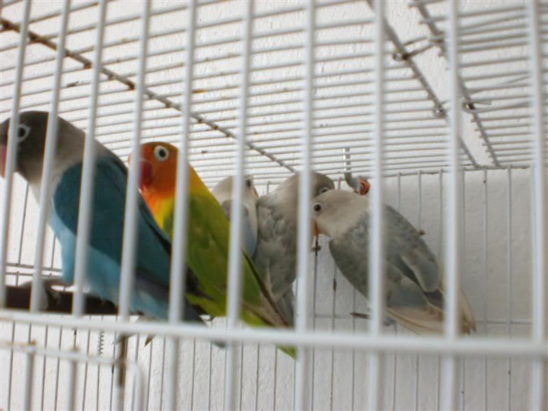 [oiseaux] Mes ex-inséparables CIMG1187