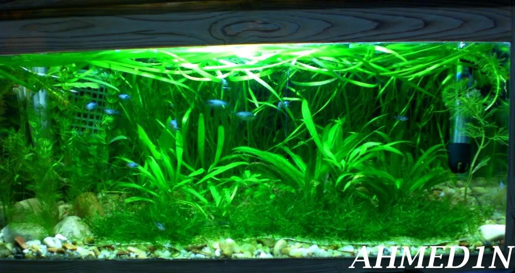aquarium 54L pour les petits gouramis (AHMED1N) CIMG1681