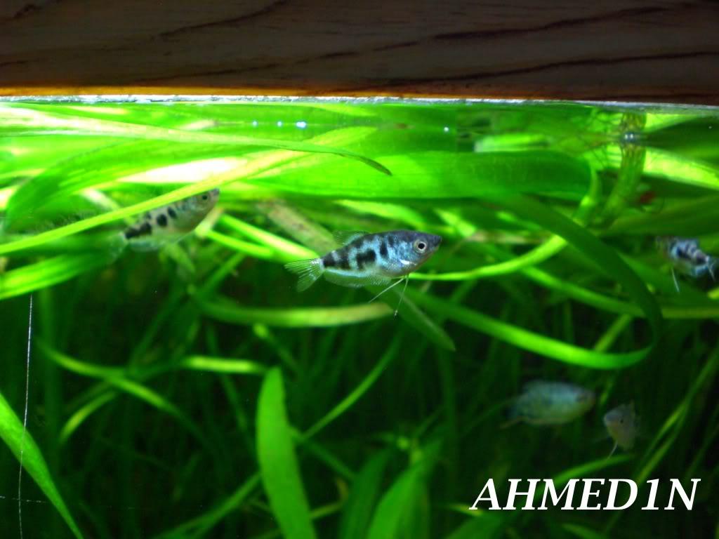 aquarium 54L pour les petits gouramis (AHMED1N) CIMG1686
