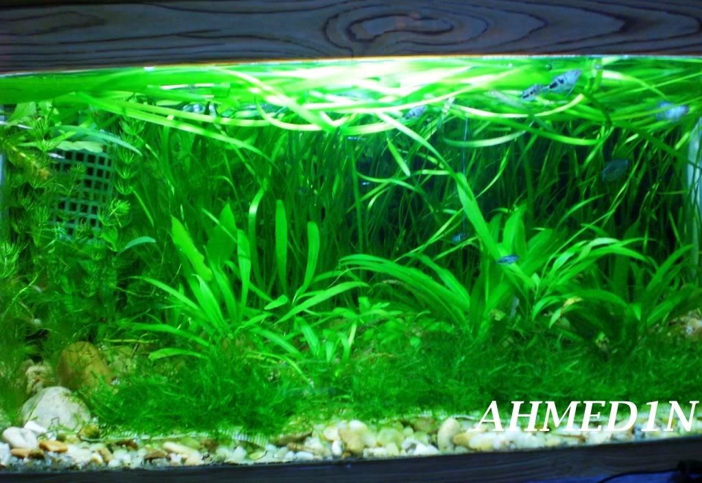 aquarium 54L pour les petits gouramis (AHMED1N) CIMG1693