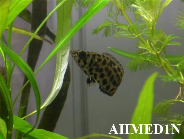 Ctenopoma acutirostre CIMG2384