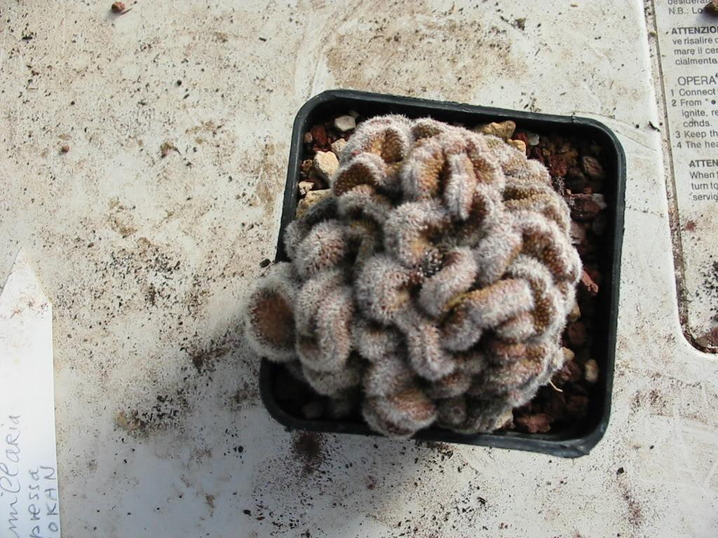 if you like freaks! enjoi it! Mammillariacompressaformacrestatayo