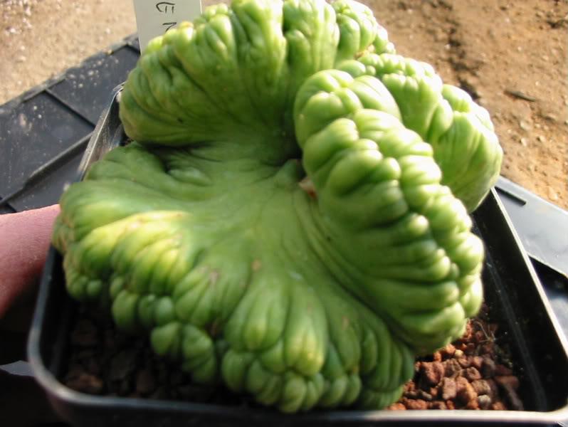 if you like freaks! enjoi it! Mammillariafredcrestata