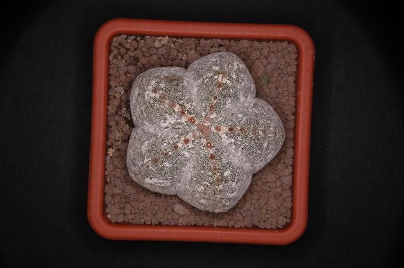 Flowering Hakuun Myrioakuuntondo
