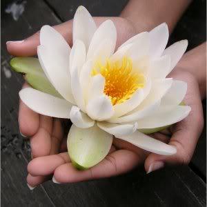 Regalame una flor.  Lotus-flower