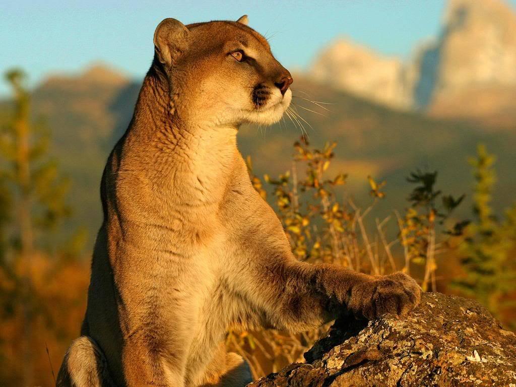 Big Cat - Kingdom in the clouds Cougar