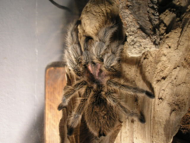 Your Tarantula and Spider pix.... - Page 3 Picture049