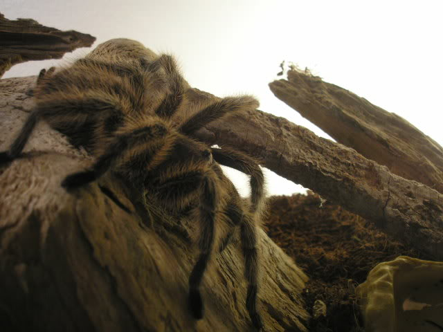 Your Tarantula and Spider pix.... - Page 3 Picture076-1