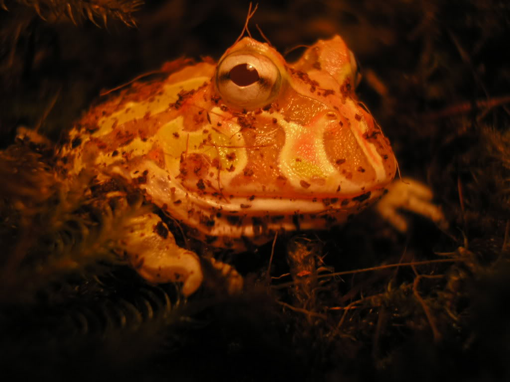 Pac man frog Picture7939