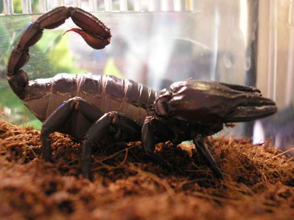 asian forest scorpion.[question] Picture9322