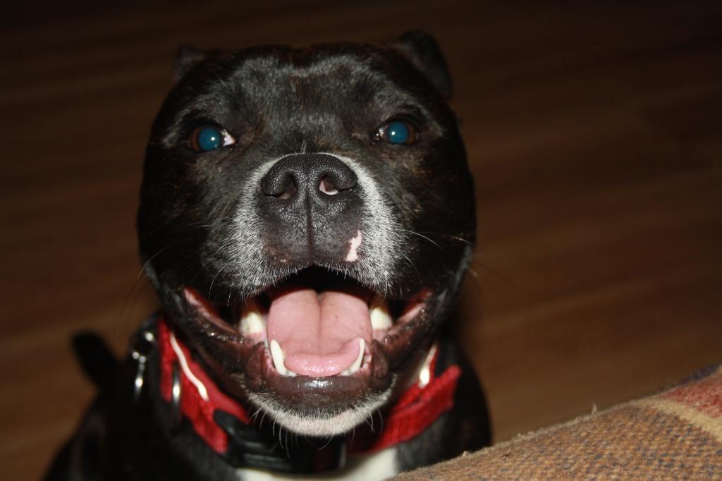 Harleys first staffy smile IMG_4578_zpse36iyac1