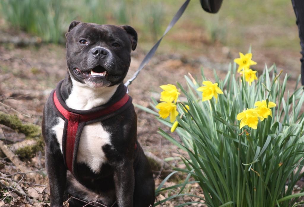 Posing amongst the daffodils  IMG_5520_zps5klaagip