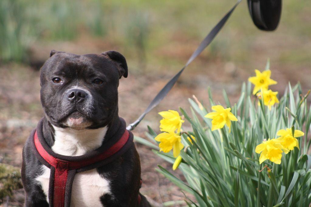 Posing amongst the daffodils  IMG_5522_zpsbozpmfxw