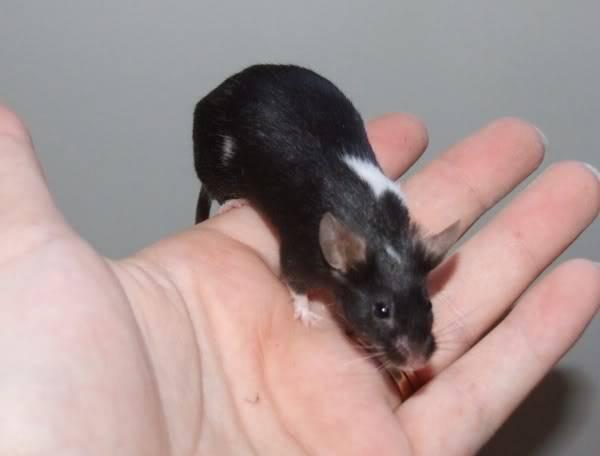 Lots of mice needing homes - Surrey 08-196