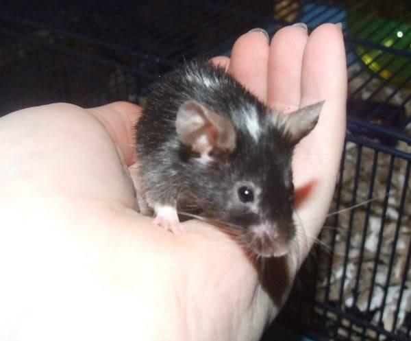 Lots of mice needing homes - Surrey 08-212
