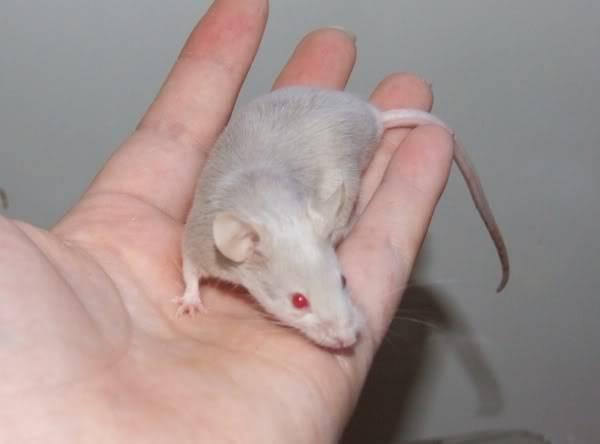 Lots of mice needing homes - Surrey 08-215