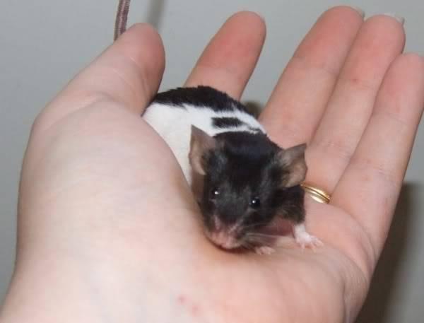 Lots of mice needing homes - Surrey 08-217