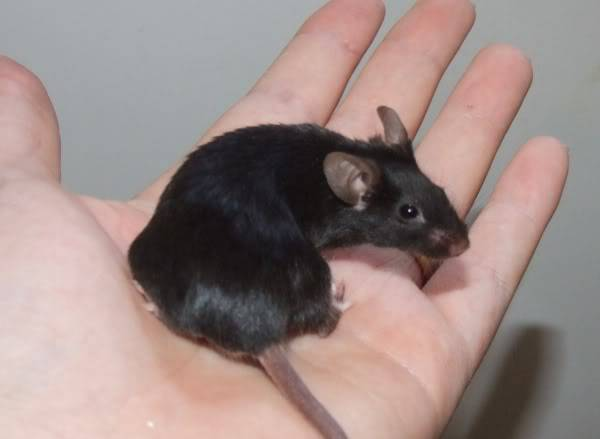 Lots of mice needing homes - Surrey 08-218