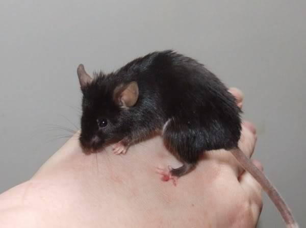 Lots of mice needing homes - Surrey 08-219